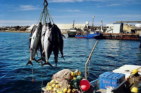 Bir 'ton balığı' hikayesi galerisi resim 11