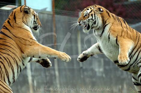 Hayvanların Öfkesi Başka Olur galerisi resim 3