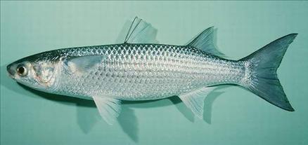 Hangi balık ne zaman yenir? galerisi resim 14