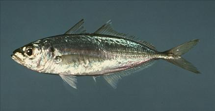 Hangi balık ne zaman yenir? galerisi resim 6