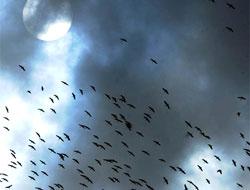 Binlerce leyleğin, muhteşem göç dansı