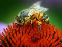 Bal arılarını öldüren esrarengiz hastalık