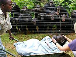 Onlarca şempanze cenaze için toplandı