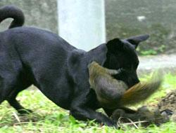 Anne sincap'ın köpekle yavru savaşı!