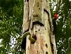 Anne ağaçkakan yılanı pes ettirdi