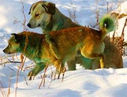 Köpekler yeşil renge dönüşüyor?