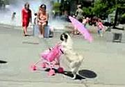 Akıllı Köpek çocuğunu gezdirirse...